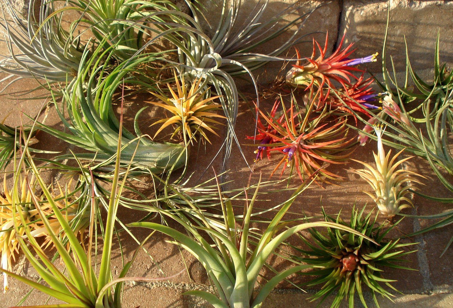 Wholesale airplants Mix of 10