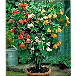 Amazoncom Abutilon Red Tiger Abutilon Hybrid Garden Outdoor