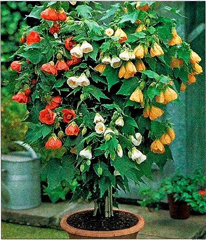 Amazoncom Seeds Abutilon Flowering Maple Indoor Perennial Garden