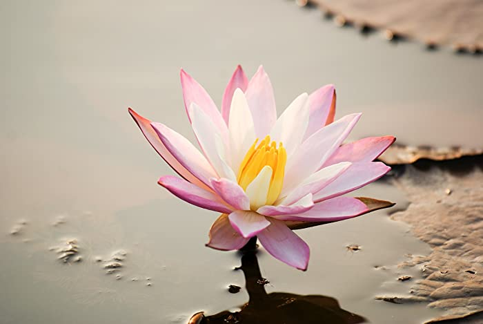 Amazon lotus flower photo print floral photography india lotus flower photo print floral photography india wall art mightylinksfo