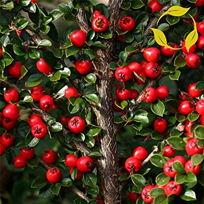 Tricastarts - ROCKSPRAY COTONEASTER Cotoneaster Horizontalis - 20+ Seeds : Garden & Outdoor