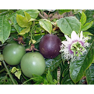 Passiflora Edulis, Granadilla, Passionfruit Possum Purple Vine (2 Starter Plants) : Garden & Outdoor