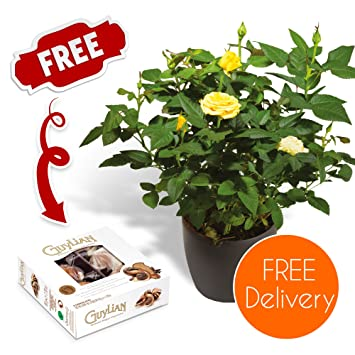 Quality Plants Delivered Free UK Delivery Potted Yellow Rose