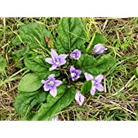 Asklepios-seeds® - 6 Semillas de Mandragora officinarum