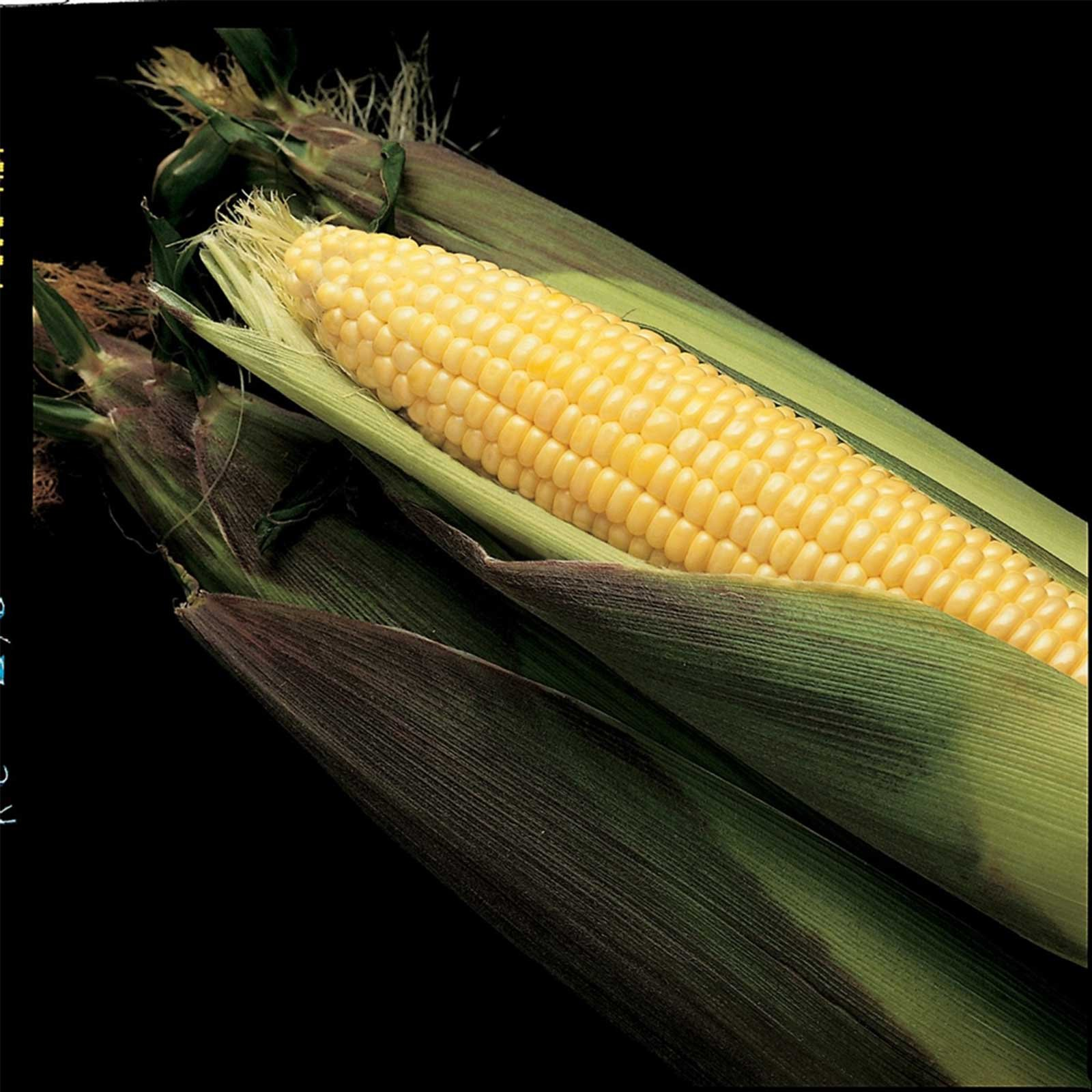 Kandy Korn Hybrid Corn Garden Seeds - 1 Lb - Non-GMO Vegetable Gardening Seeds - Yellow Sweet (SE) Corn Seed & Micro Shoots by Mountain Valley Seed Company (Image #1)