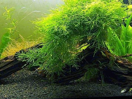 Fácil Acuario Planta paquete (5 – 10 galones) – gran planta su 5 –