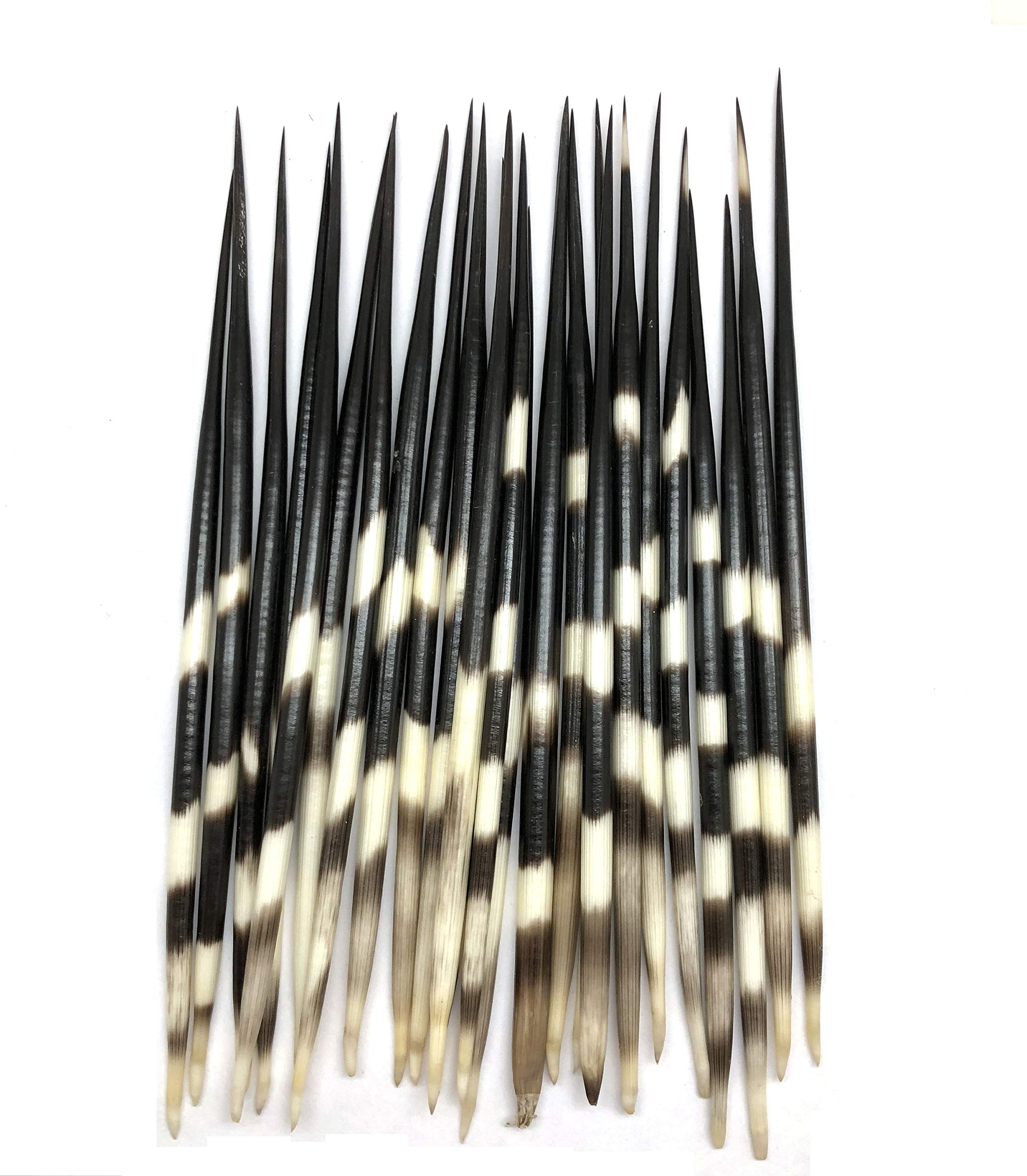 PEPPERLONELY 3PC Thick South Africa Porcupine Quills (8 Inch ~ 10 Inch) by PEPPERLONELY