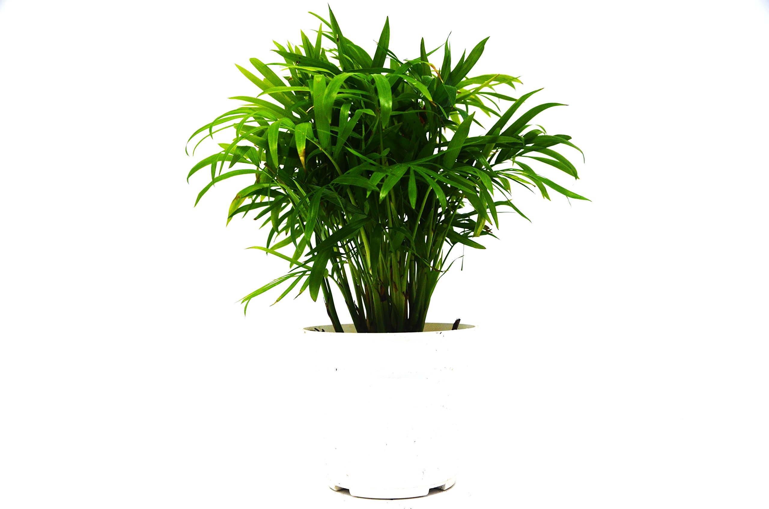 Parlor Palm in 4'' Pot - Live Indoor Plant - FREE Care Guide