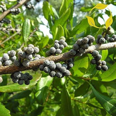 Wax Myrtle Southern Myrica Cerifera - 100+ Seeds : Garden & Outdoor