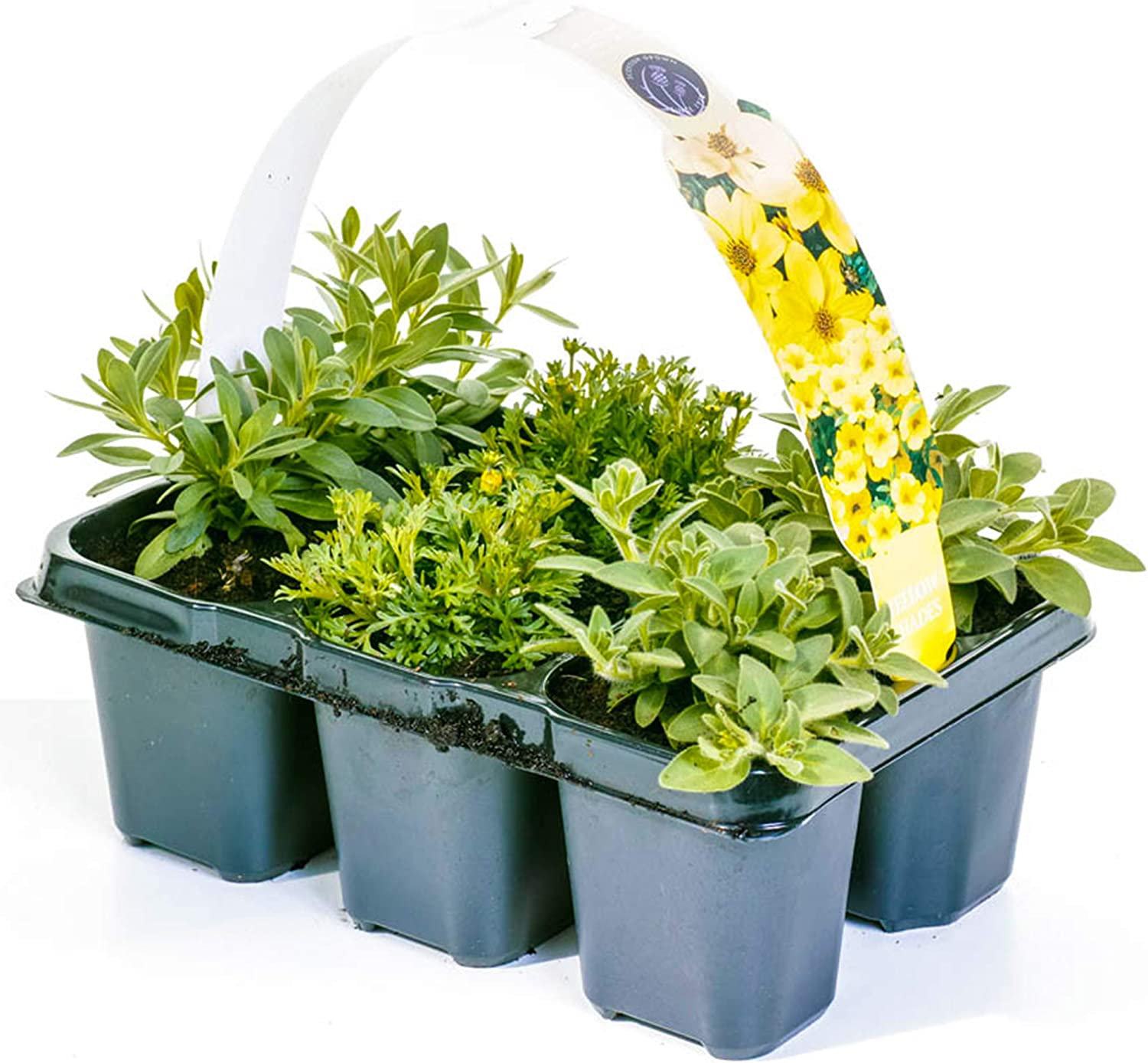 6 Pack Mix of Hanging Basket Plants for Borders Pots Containers Yellow Shades