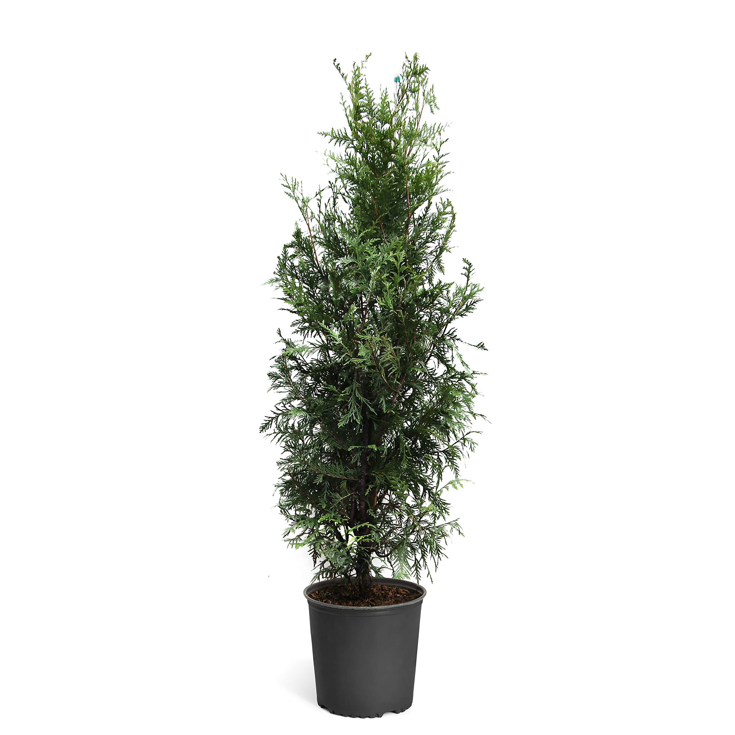 Thuja Green Giant Trees - 5-6 feet Tall - Large Evergreen Trees for Instant Privacy! - Oversize Arborvitae Thuja Green Giants by Brighter Blooms (Image #1)
