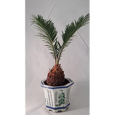 Sego Palm Bonsai Pot With vase lucky : Everything Else