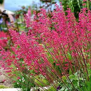 Semillas de Coral Bells - Heuchera sanguinea: Amazon.es: Jardín