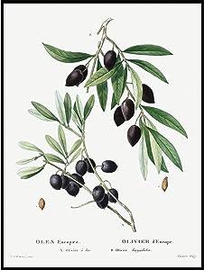 Olive Print, Vintage Botanical Poster Wall Art Decor, Olive Branch, Kitchen Art, Painting of Fruit, Vintage Fruit Print 16x20