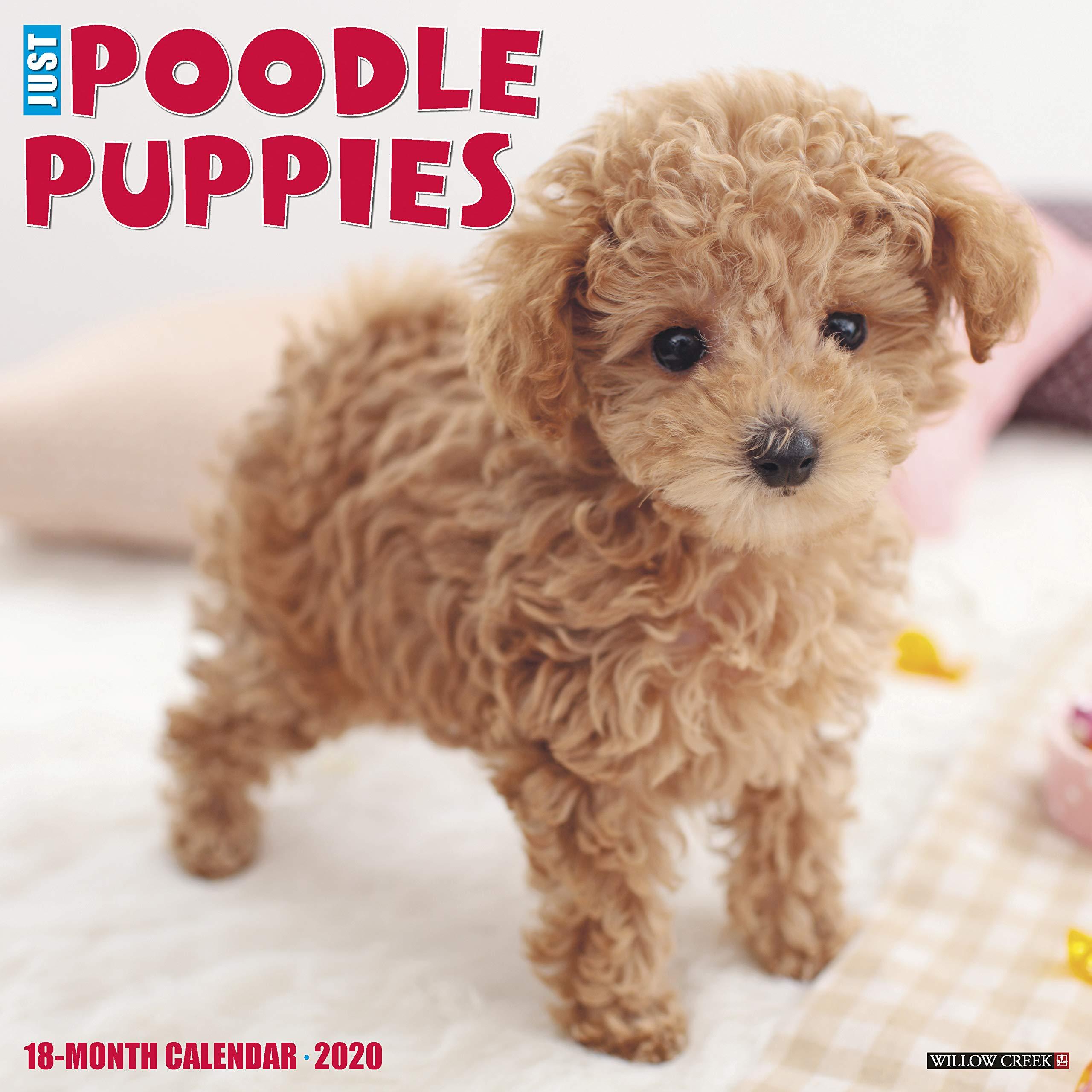 Just Poodle Puppies 2020 Wall Calendar Dog Breed Calendar Willow Creek Press 0709786051724 Amazon Com Books