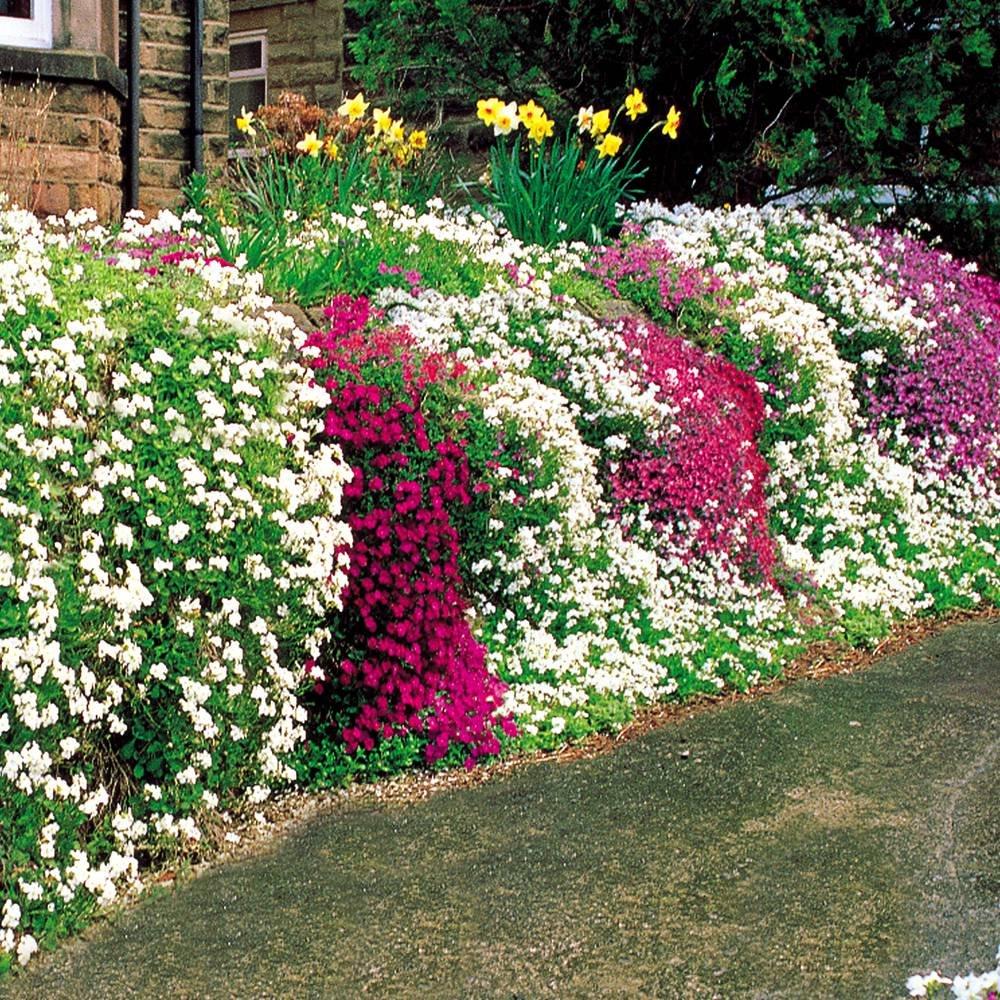 Phlox subulata Wall Rockery - 25 plants Gardens4you
