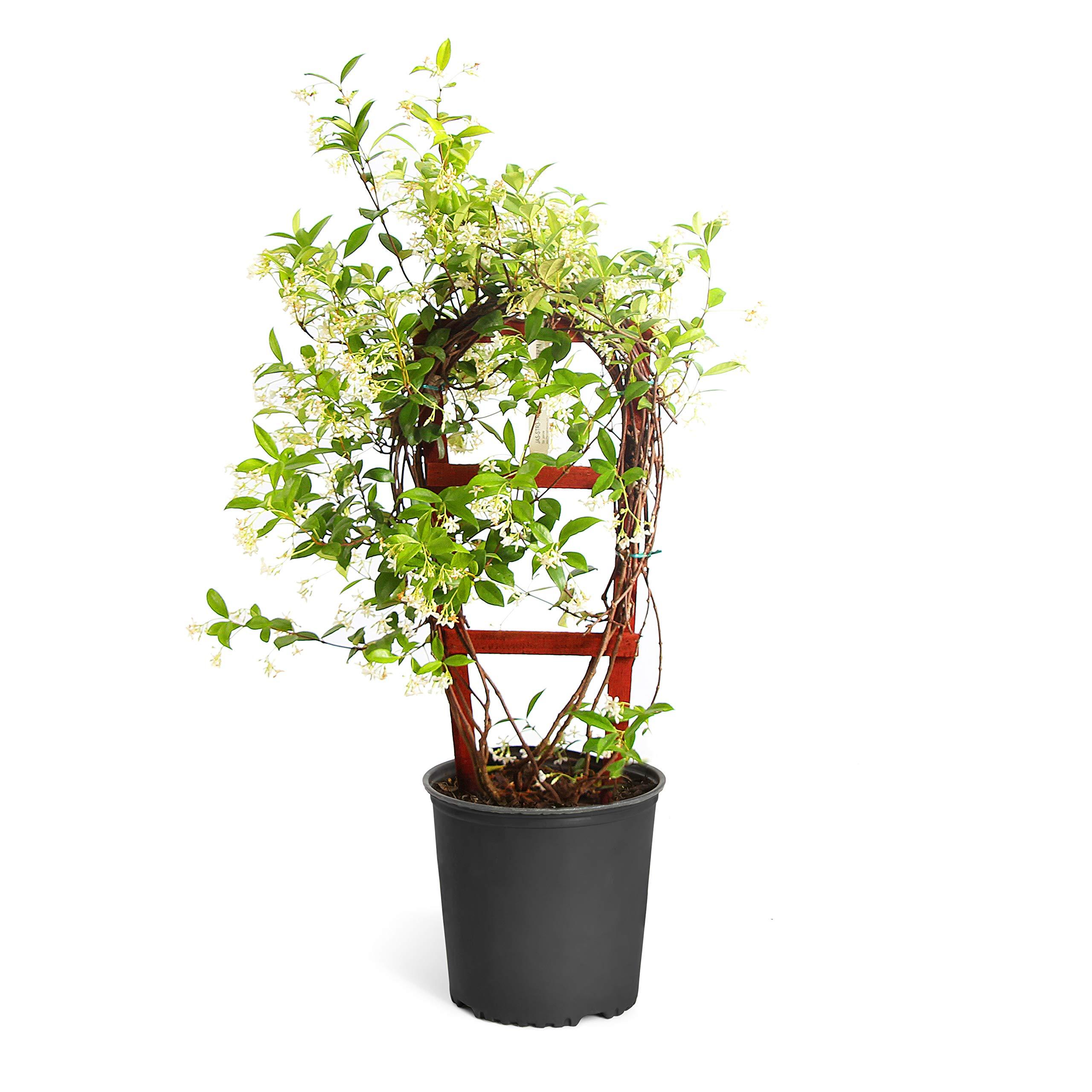 Star Jasmine - 3 Gallon with Trellis