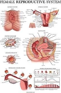 1:1 Life Size Human Female Uterus Ovary Pathology Model