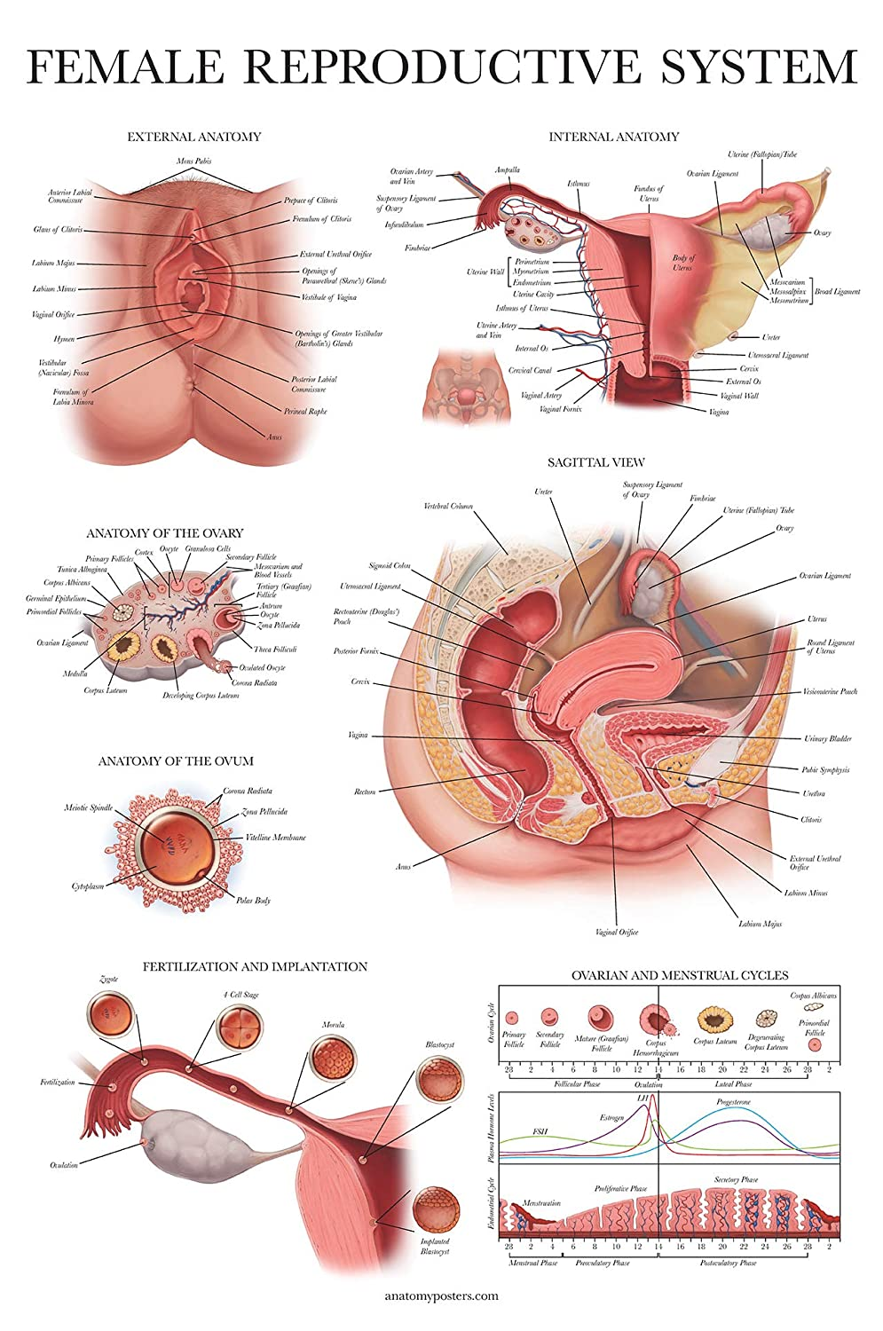 Laminated Female Reproductive System Anatomical Chart - Female ...