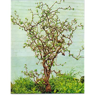 (5 Gallon) Harry Lauder's Walking Stick - A Unique deciduous Shrub Treasured for its gnarled and Twisted Branches. : Garden & Outdoor