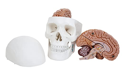 Labzio by eisco premium 3 part human skull model with movable jaw labzio by eisco premium 3 part human skull model with movable jaw and 8 parts ccuart Image collections