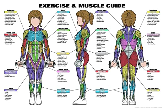 Exercise female muscle guide fitness poster the human muscular