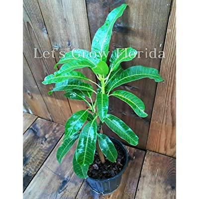 "Mango Tree NAM-Doc-Mai 3Gal /10""Pot Professionally Grafted Mangifera Indica Live : Garden & Outdoor"