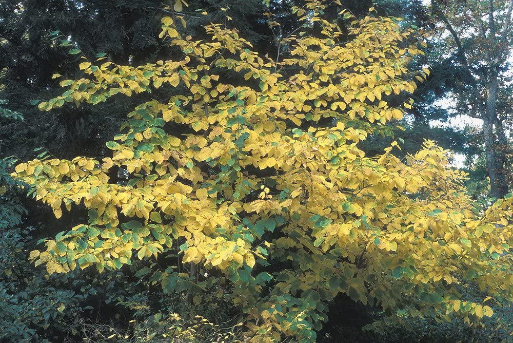 Amazon Com 10 Hamamelis Virginiana Seeds Witch Hazel Seeds