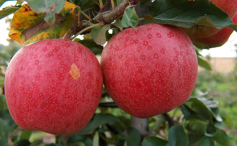 Gala Apple Tree - Grow Fresh Fruit - Live Plants Shipped 2-3 Feet Tall by DAS Farms (No California)