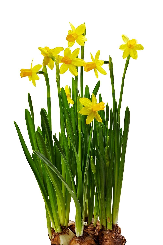 amazon com 25 quality daffodil bulbs tête à tête small