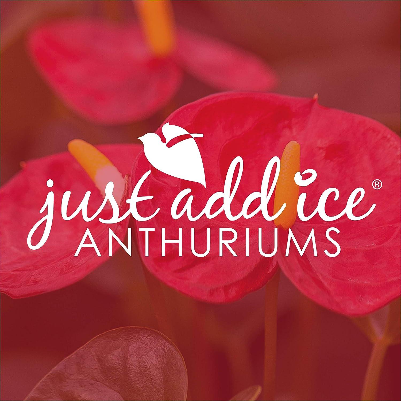 Just Add Ice JAI264 Anthurium Red
