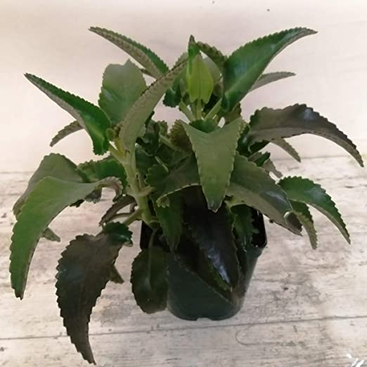Planta de Kalanchoe Daigremontiana PORTES GRATIS: Amazon.es: Jardín