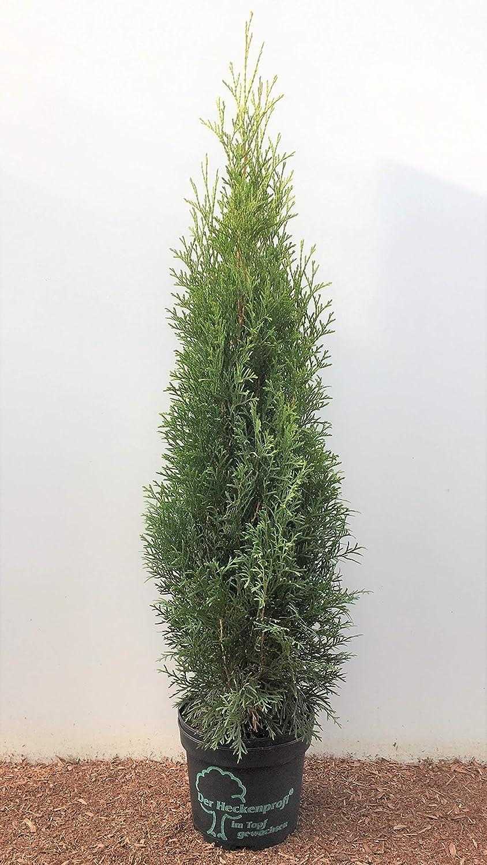 Platz 1 – Edel Thuja Smaragd immergrüner Lebensbaum Heckenpflanze Zypresse im Topf