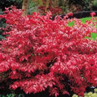 Euonymus alatus zarza ardiente - 2 arbustos