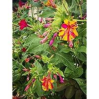 ScoutSeed Don diego de noche, mirabilis jalapa, varios colores, 25 semillas.