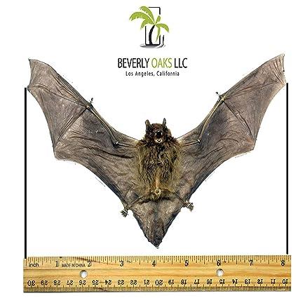 Amazon.com : Museum Quality Taxidermy Bat Java Pipistrelle Dracula