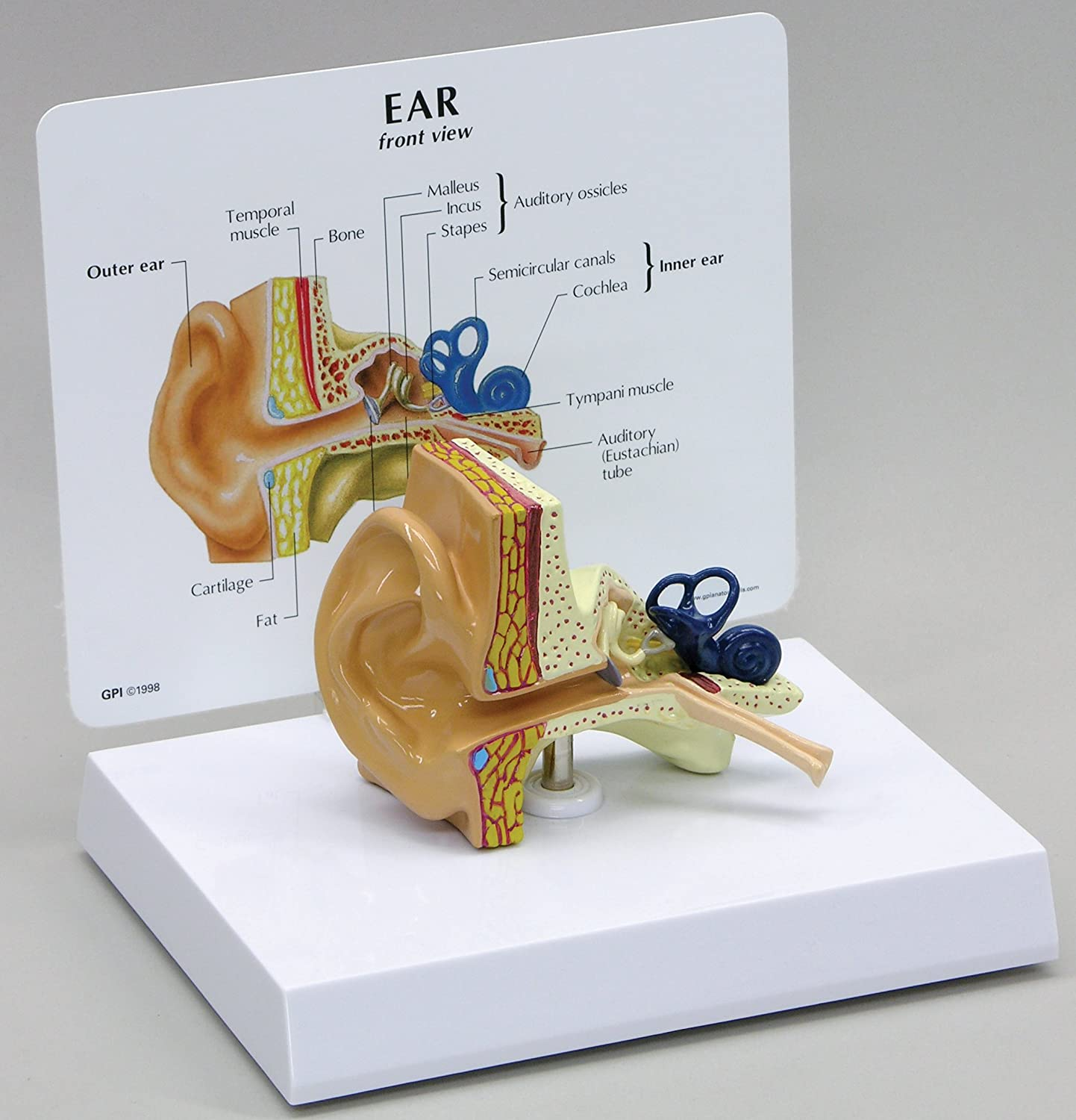 Ear Human Anatomical Model: Ear Model Anatomy: Amazon.com ...