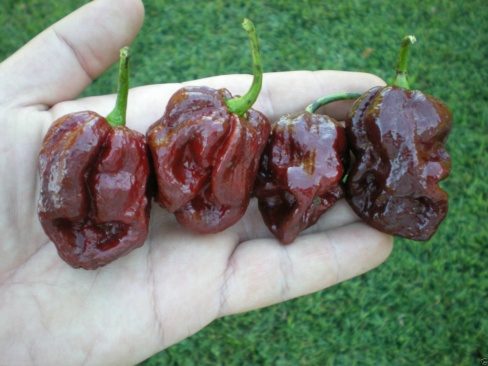 (1000) Trinidad 7 Pot (7-Pod) DOUGLAH Pepper SeedsWHOLESALE