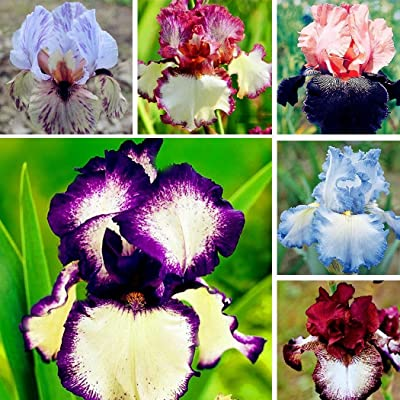 KOUYE GardenSeeds-50pcs/Bag Iris Seeds Bonsai Rare Perennial Flower Seeds Home Yard Garden Balcony Planting : Garden & Outdoor