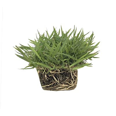 "Zoysia Sod Plugs - 18 Large 3"" x 3"" Plugs - Drought, Salt & Shade Tolerant Turf Grass : Garden & Outdoor"