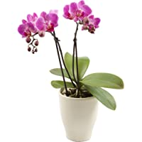 """Color Orchids Live Blooming Double Stem Phalaenopsis Orchid Plant in Ceramic Pot, Blooms, 15"""" -20"""" Tall, Pink Blooms"""