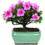 brussels dt3066az satsuki azalea outdoor bonsai tree bought bonsai tree