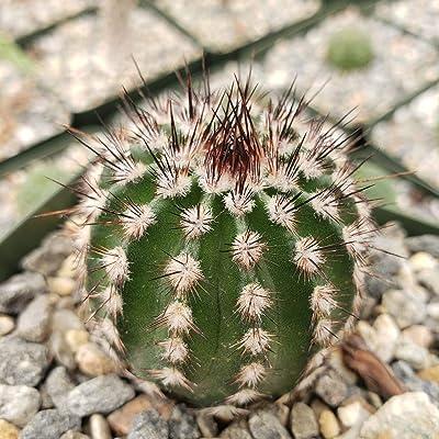 Echinocereus armatus Cactus Cacti Succulent Real Live Plant : Garden & Outdoor