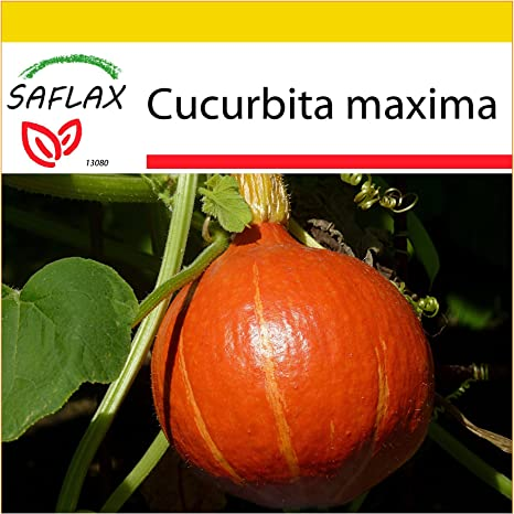 SAFLAX - Set de cultivo - Calabaza Hokkaido - 10 semillas ...