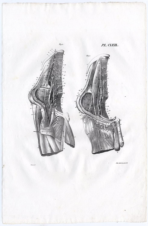 Amazon.com: Antique Print-HUMAN ANATOMY-ARTERY-BLOOD VESSEL ...