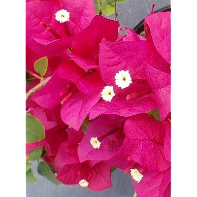 Two Live 4 Inch Bougainvillea 'Juanita Hatten' Fuchsia-Red Flowers. 4 Plants, 2 per Pot. : Garden & Outdoor