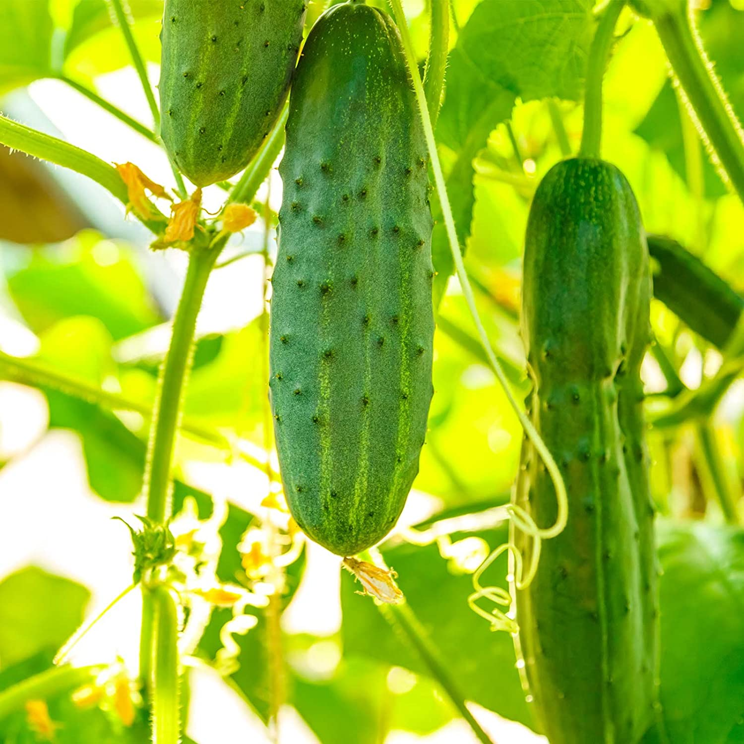 Salad Bush Hybrid Cucumber Garden Seeds - 1000 Seeds - Non-GMO, AAS Award Winner - Vegetable Gardening Seeds