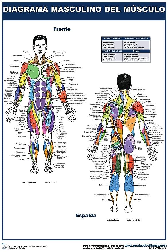 Amazon.com : Diagrama masculino del musculo - Cartel - Male Muscle ...