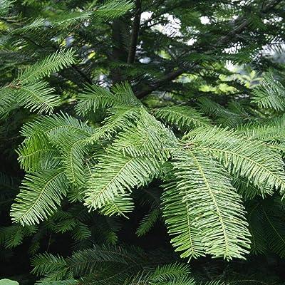 40 Grand Fir Abies Grandis Tree Seeds WL #RR12 : Garden & Outdoor