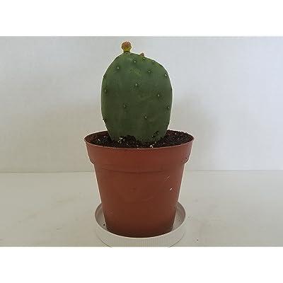 Artistic Solutions Spineless Organic Opuntia Robusta Prickly Pear Cactus Starter Plant AKA Cartwheel Opuntia : Garden & Outdoor